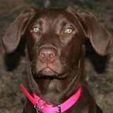 Drifter, female chocolate lab