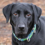 Kacie, female lab