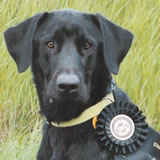 Ridge, black labrador retriever, male