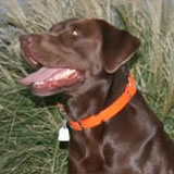 Storm, male chocolate lab