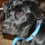Track, male black labrador retriever